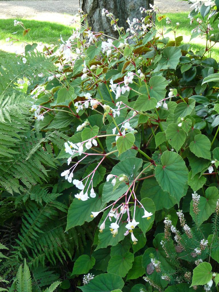 Bégonia grandis ssp. evansiana 'Alba', Parc Floral de Paris, Paris 12e (75)
