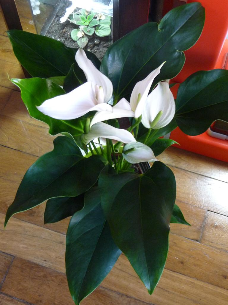 Anthurium Rotero blanc, Aracées, plante d'intérieur