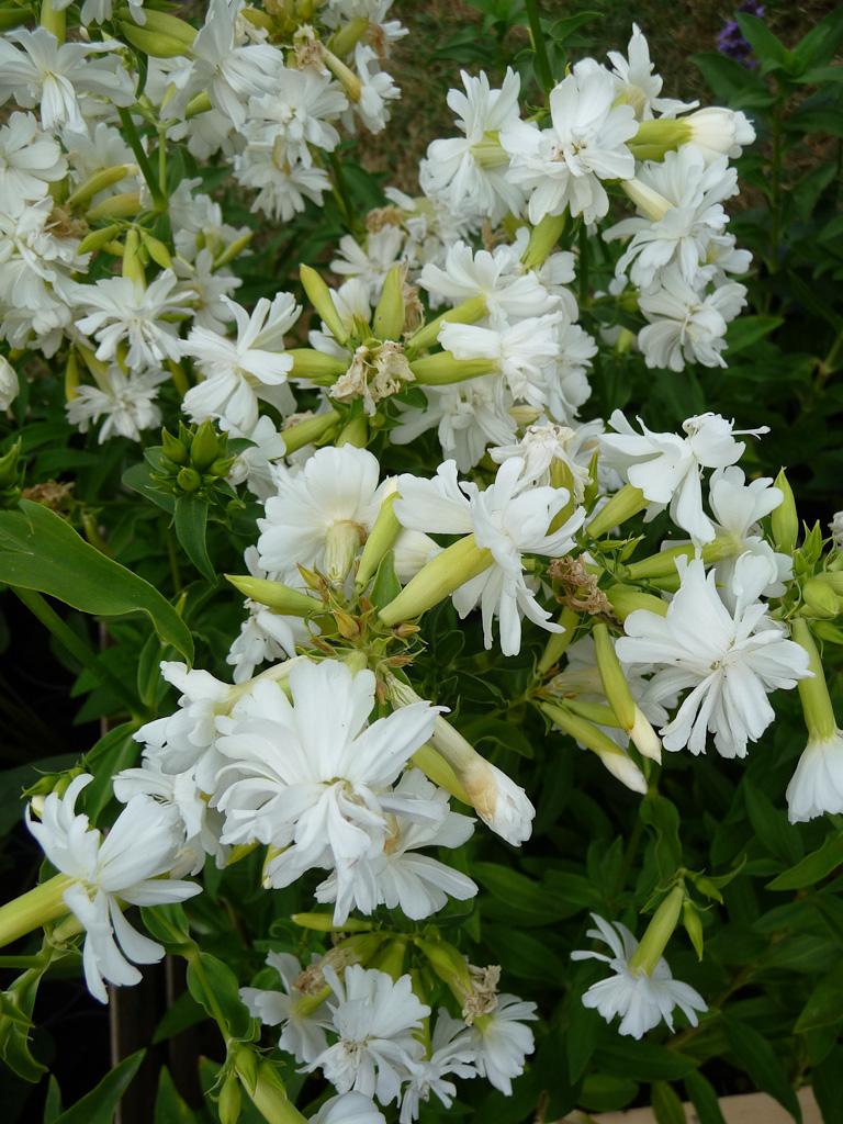 Saponaria officinalis 'Betty Arnold', Pépinières Delabroye, Fête des plantes fruits et légumes d'hier et d'aujourd'hui, Domaine de Saint-Jean de Beauregard (Essonne)