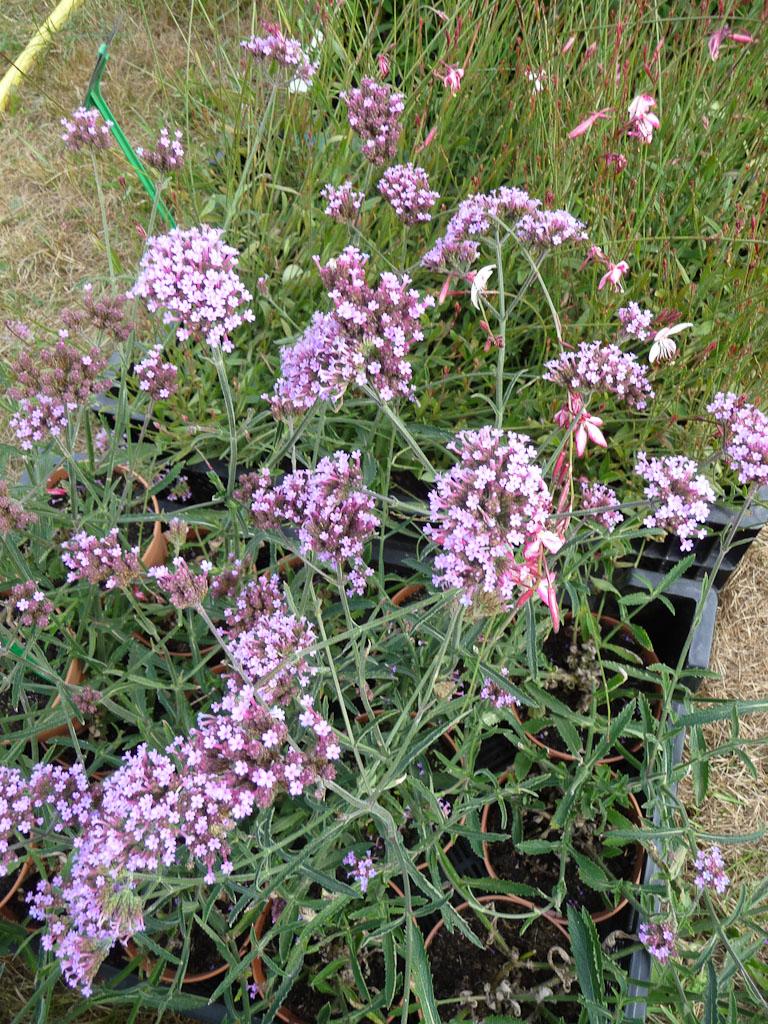 Verbena bonariensis 'Lollipop', Pépinières Delabroye, Fête des plantes fruits et légumes d'hier et d'aujourd'hui, Domaine de Saint-Jean de Beauregard (Essonne)