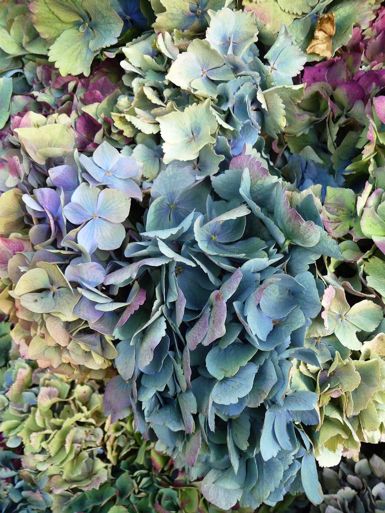Inflorescences fanées d'hortensia, Les hortensias du Haut-Bois, Fête des Plantes, Fruits et Légumes d'hier et d'aujourd'hui