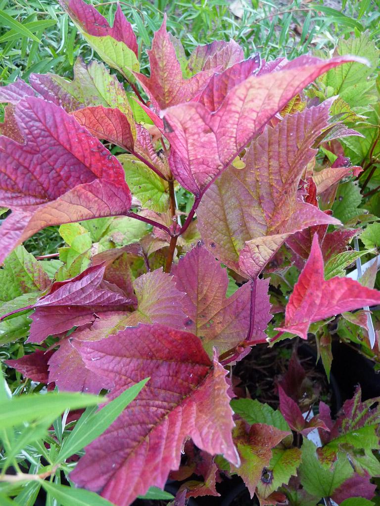 Viburnum trilobum 'Bailey Compact', Pépinière Maurice Laurent, Fête des Plantes Fruits et Légumes d'hier et d'aujourd'hui