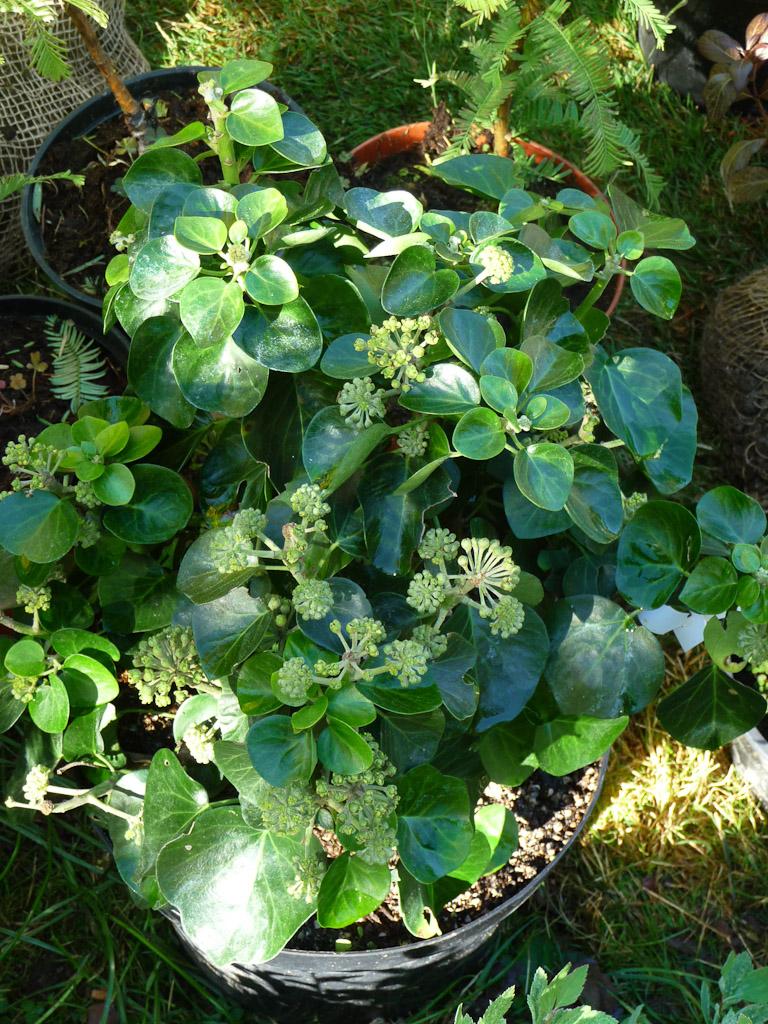 Lierre en arbre (Hedera helix 'Arborescens Nana'), Pépinière Hennebelle, Fête des Plantes Fruits et Légumes d'hier et d'aujourd'hui