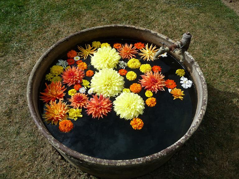 Baquet d'eau avec des fleurs de dahlias et de roses d'Inde flottantes, potager du Domaine de Saint-Jean de Beauregard, Essonne