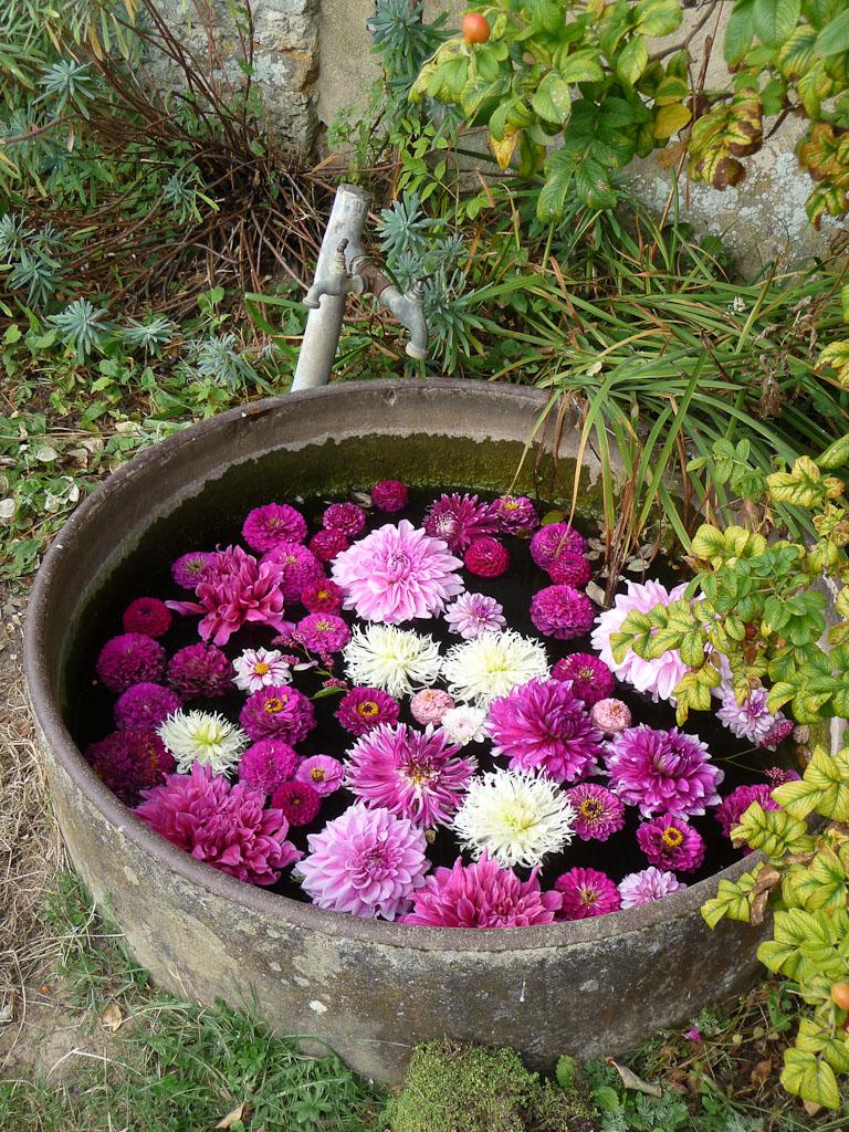 Baquet d'eau avec des fleurs de dahlias flottantes, potager du Domaine de Saint-Jean de Beauregard, Essonne