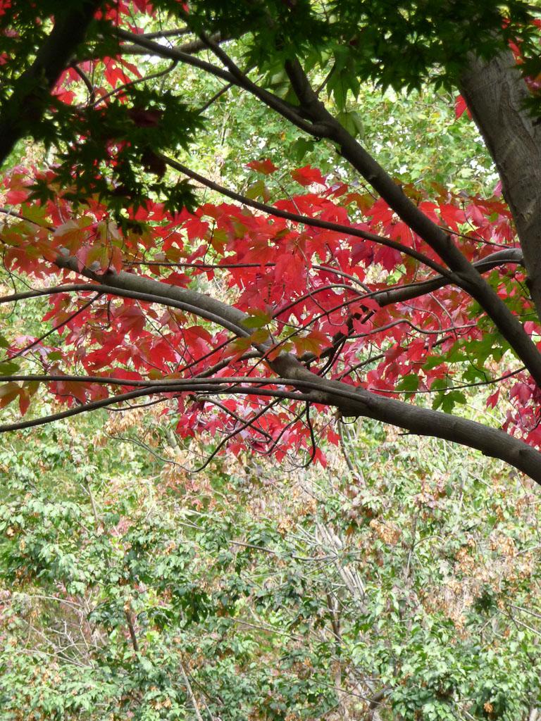 Érable avec ses couleurs d'automne, square Louis Majorelle, 28bis rue de la Forge Royale, Paris 11e (75)