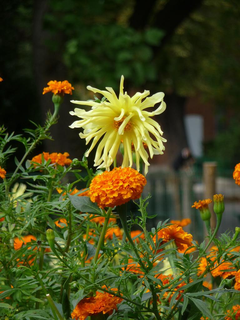 Rose d'Inde et dahlia, décorations florales estivales, parc des Buttes-Chaumont, Paris 19e (75)