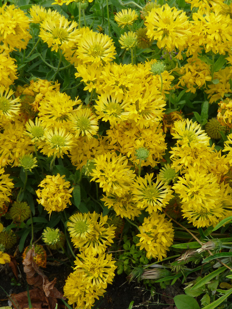 Gaillarda pulchella Plume Yellow, décorations florales estivales, jardin du Luxembourg, Paris 6e (75)