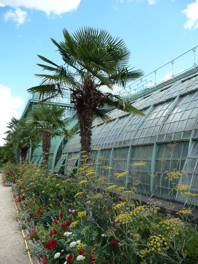 Alignement de palmiers (Trachycarpus fortunei) le long des serres, Jardin des Serres d'Auteuil, Paris 16e (75)