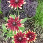 Rudbeckias, parc floral de Paris, Paris 12e (75)