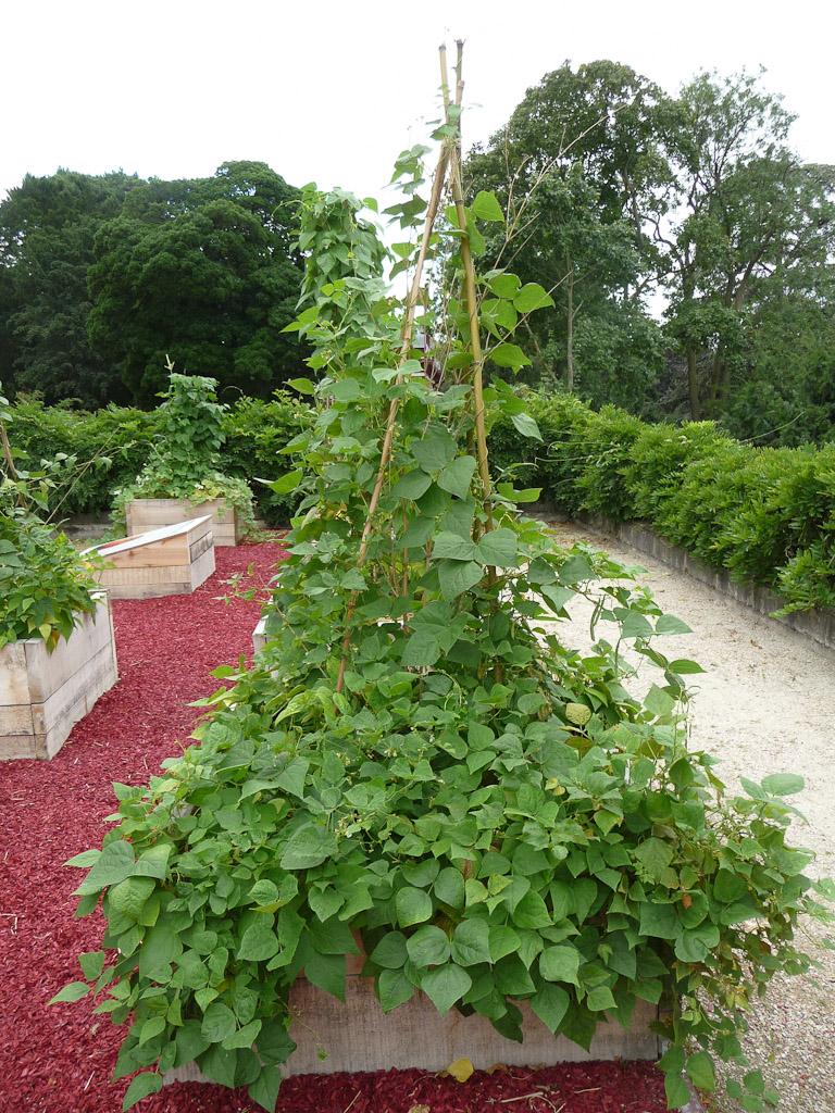 """Haricots sur la terrasse côté Seine avec le potager en carrés, exposition """"Savez-vous planter les choux ?"""", parc de Bagatelle"""