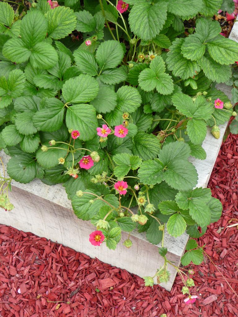 """Fraisiers à fleurs roses, terrasse côté Seine avec le potager en carrés, exposition """"Savez-vous planter les choux ?"""", parc de Bagatelle"""