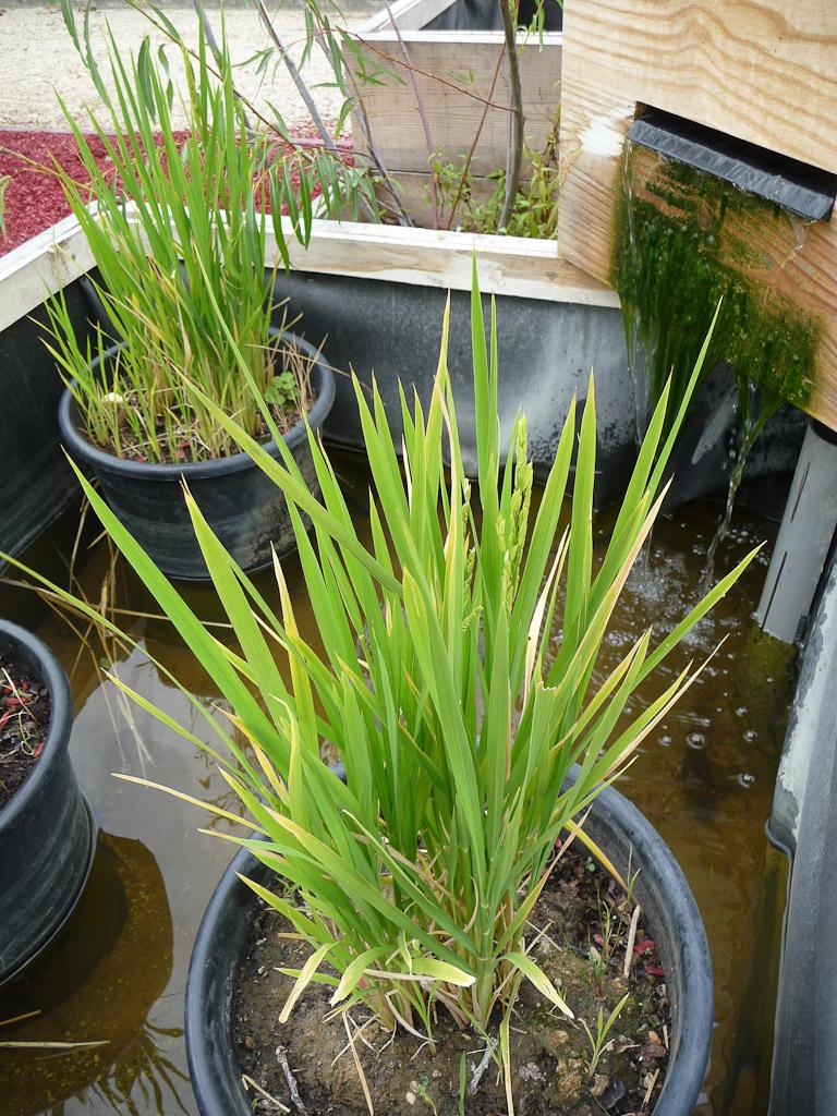 """Pieds de riz en pot, terrasse côté Seine avec le potager en carrés, exposition """"Savez-vous planter les choux ?"""", parc de Bagatelle"""