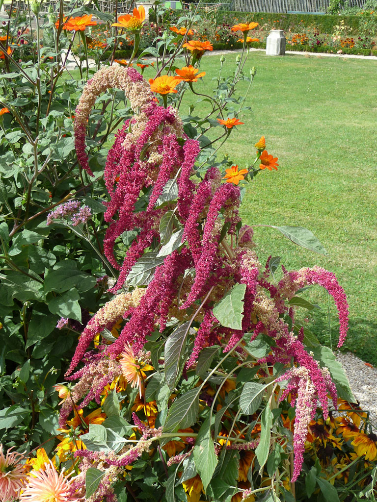 Amarante bicolore, parc de Bagatelle en été