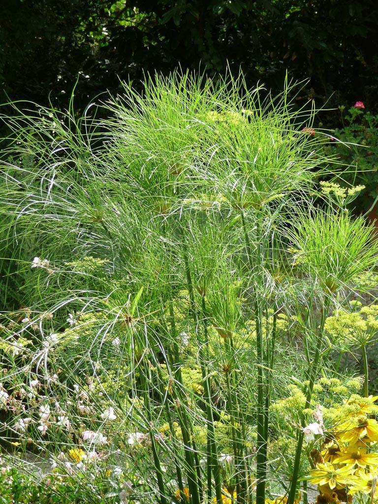 Papyrus (Cyperus papyrus) dans un massif du jardin des présentateurs, parc de Bagatelle en été