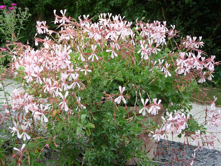 Potée de Pelargonium acetosum dans le parc de Bagatelle en été