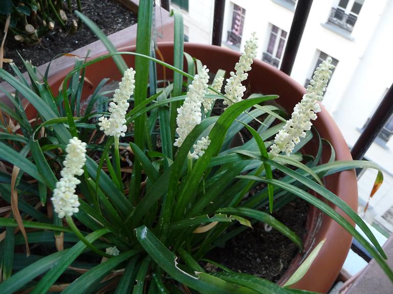 Liriope muscari 'Monroe White' sur mon balcon, Paris 19e (75)