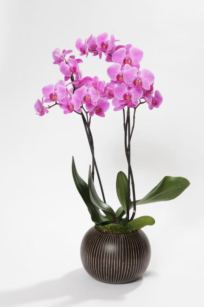 Mnémosyne, une orchidée pour la mémoire