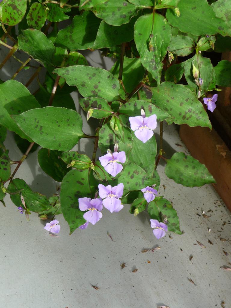 Potée fleurie de Tinantia pringlei sur mon balcon en automne, Paris 19e (75)