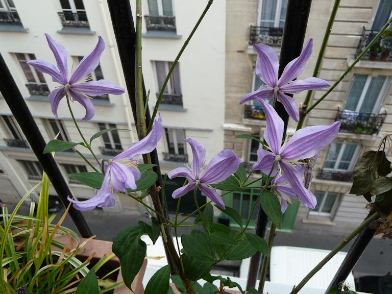 Clématite Blue River sur mon balcon en automne, Paris 19e (75)