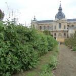 Figuiers palissés dans le Potager du Roi en automne, Versailles (78)