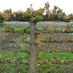 Vieux poirier palissé avec feuillage d'automne dans le Potager du Roi, Versailles (78)