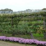 Bordure d'asters nains et arbres fruitiers palissés, Potager du Roi en automne, Versailles (78)