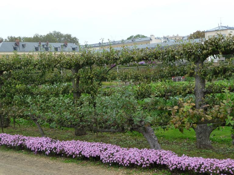 Bordure d'asters nains le long d'arbres fruitiers cultivés en espaliers, Potager du Roi, Versailles (78)