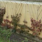 Poiriers palissés dans le Potager du Roi en automne, Versailles (78)