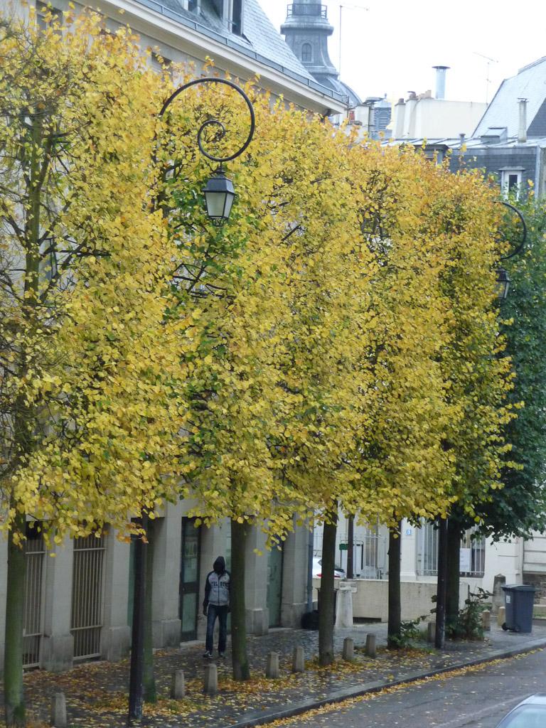 Rideau de tilleuls au feuillage doré, Versailles, Yvelines