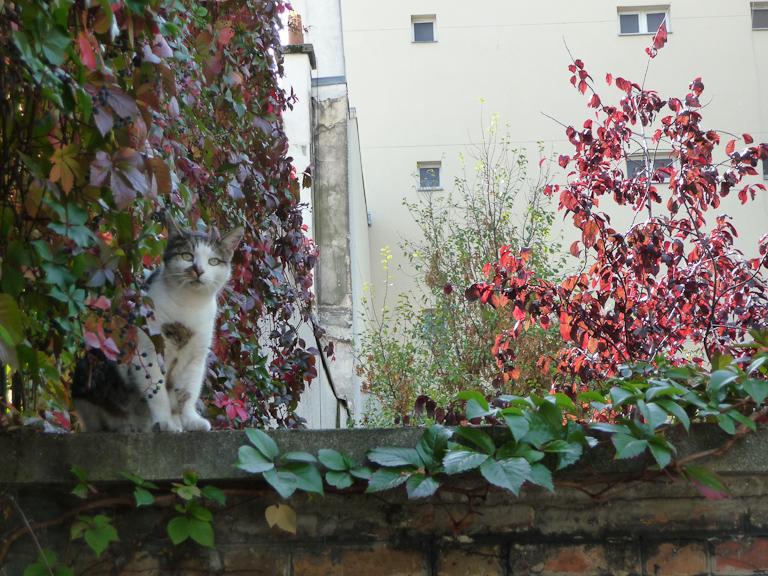 Chat de gouttière sur un des murs du cimetière de Montmartre, Paris 18e (75)