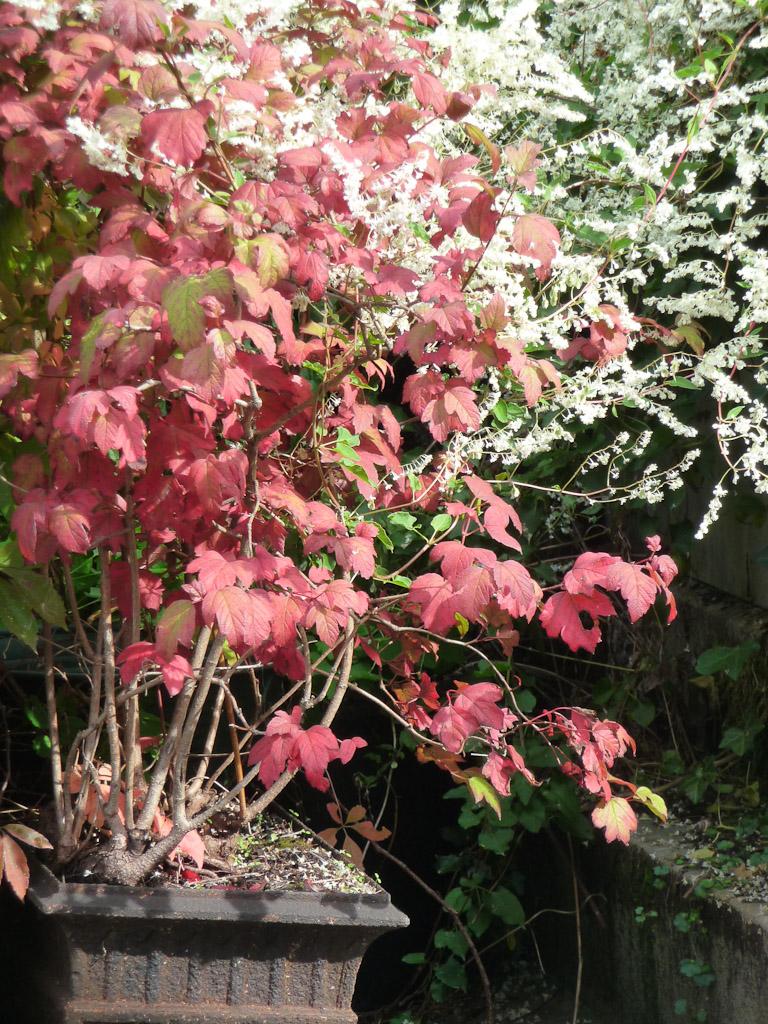 Viorne (Viburnum) avec son feuillage d'automne rougeoyant se détachant sur la floraison d'une renouée du Turkestan, Cimetière de Montmartre, Paris 18e (75)