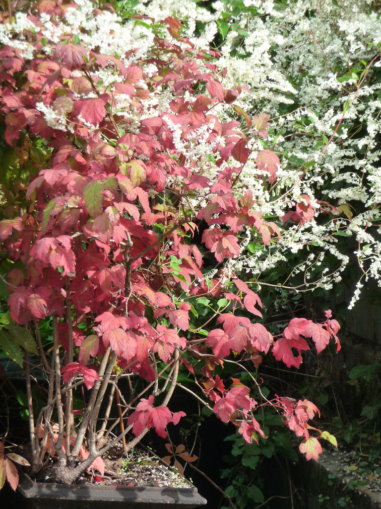 Viorne (Viburnum) avec feuillage d'automne rosissant se détachant sur un rideau de fleurs de renouée du Turkestan (Fallopia baldschuanica), Cimetière de Montmartre, Paris 18e (75)