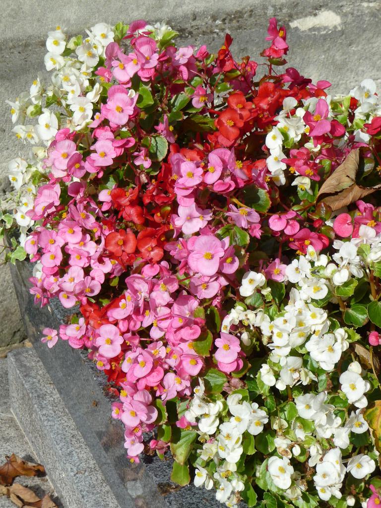 Jardinière de bégonias à petites fleurs (Begonia semperflorens), cimetière de Montmartre, Paris 18e (75)