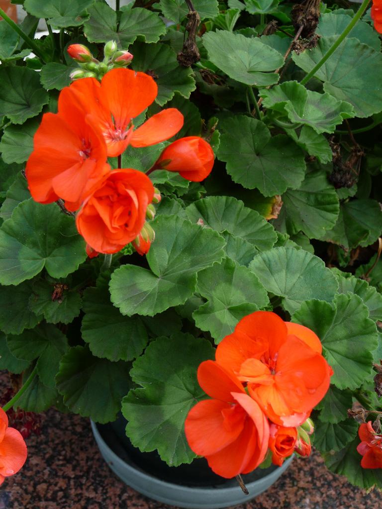 Potée de géranium zonale à fleurs orange vif en automne dans Paris