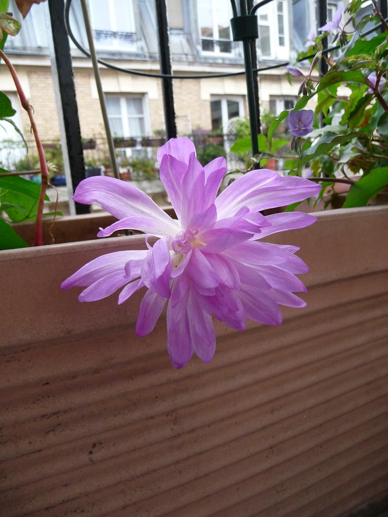 Floraison d'un bulbe de Colchicum 'Waterlily' sur mon balcon en automne, Paris 19e (75)