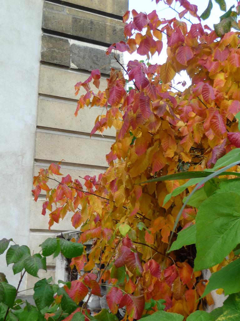 Rhus toxicodendron, Jardin des Plantes de Paris en automne, Paris 5e (75)