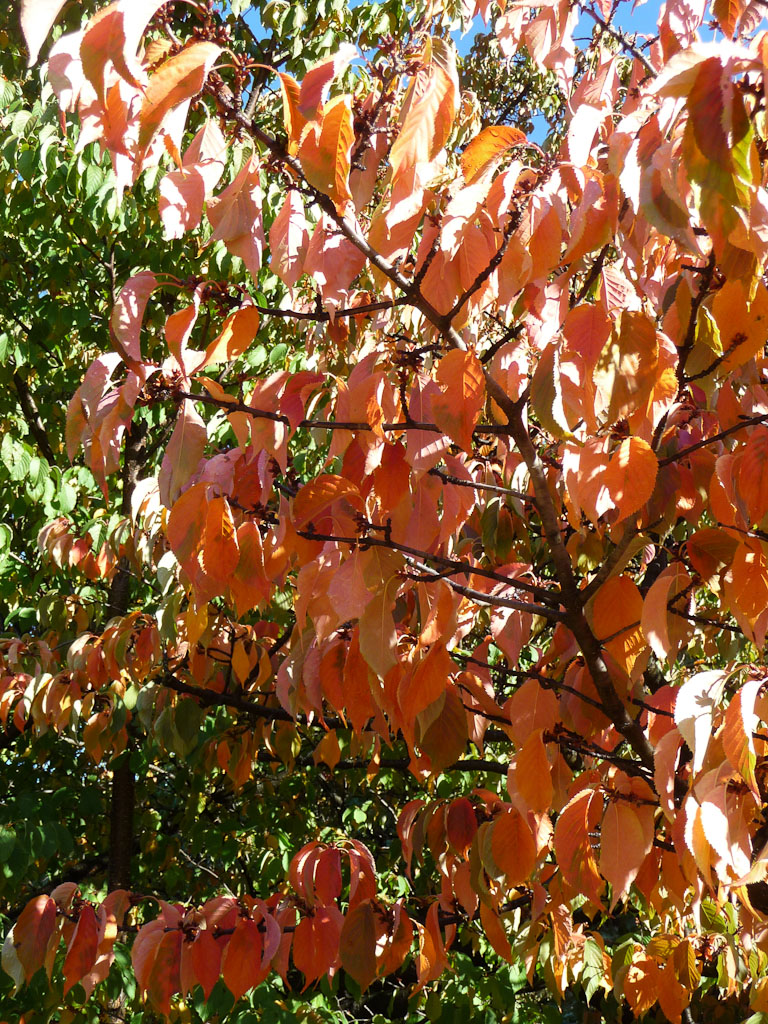 Cerisier du Tibet (Prunus serrulata 'Hisakura'), Jardin des Plantes de Paris en automne, Paris 5e (75)
