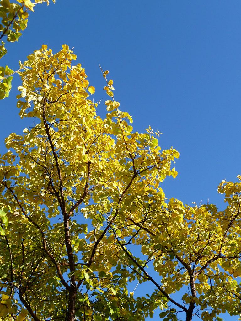 Feuillage doré du Chionanthus retusus, Jardin des Plantes de Paris en automne, Paris 5e (75)