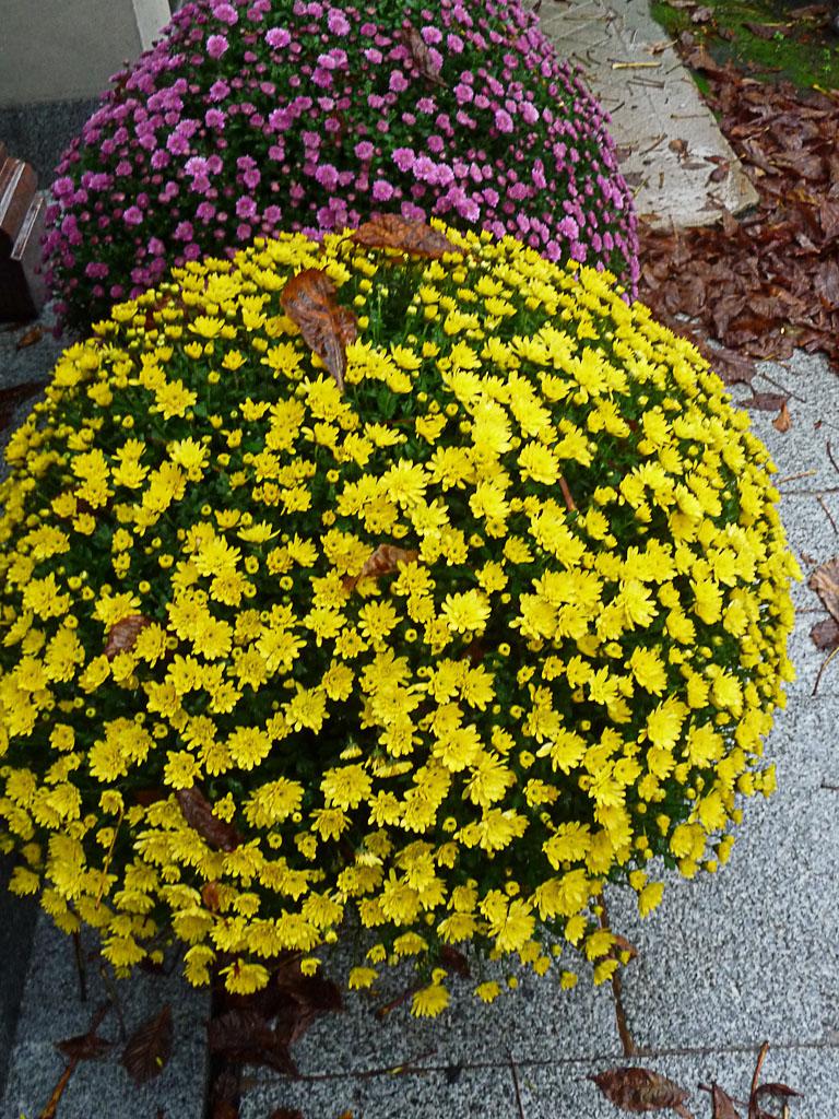 Chrysanthème par un dimanche d'automne pluvieux dans le cimetière du Père Lachaise, Paris 20e (75)