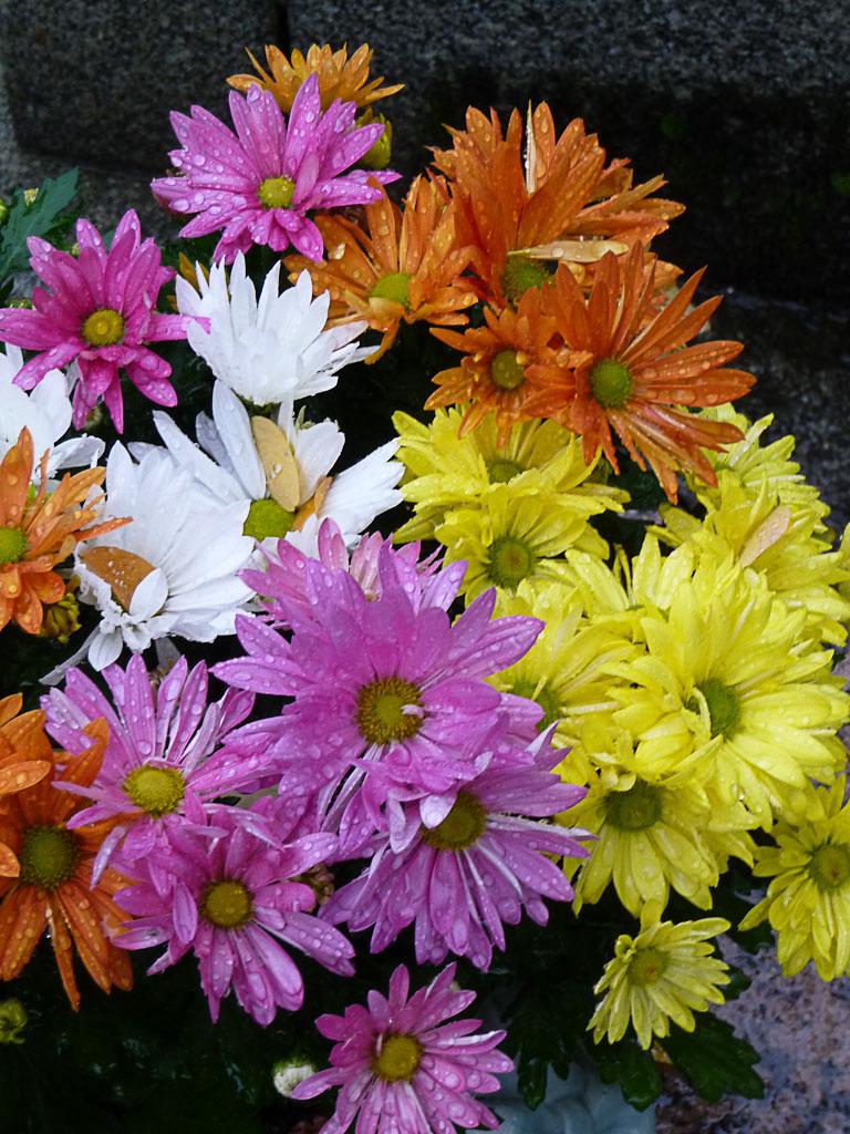 Chrysanthèmes par un dimanche d'automne pluvieux dans le cimetière du Père Lachaise, Paris 20e (75)