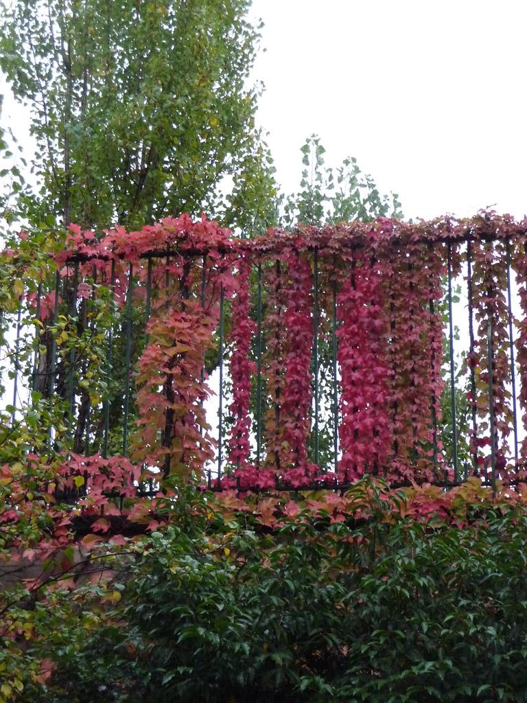 Vigne vierge avec ses couleurs d'automne par un dimanche d'automne pluvieux dans le cimetière du Père Lachaise, Paris 20e (75), 14 octobre 2012, photo Alain Delavie