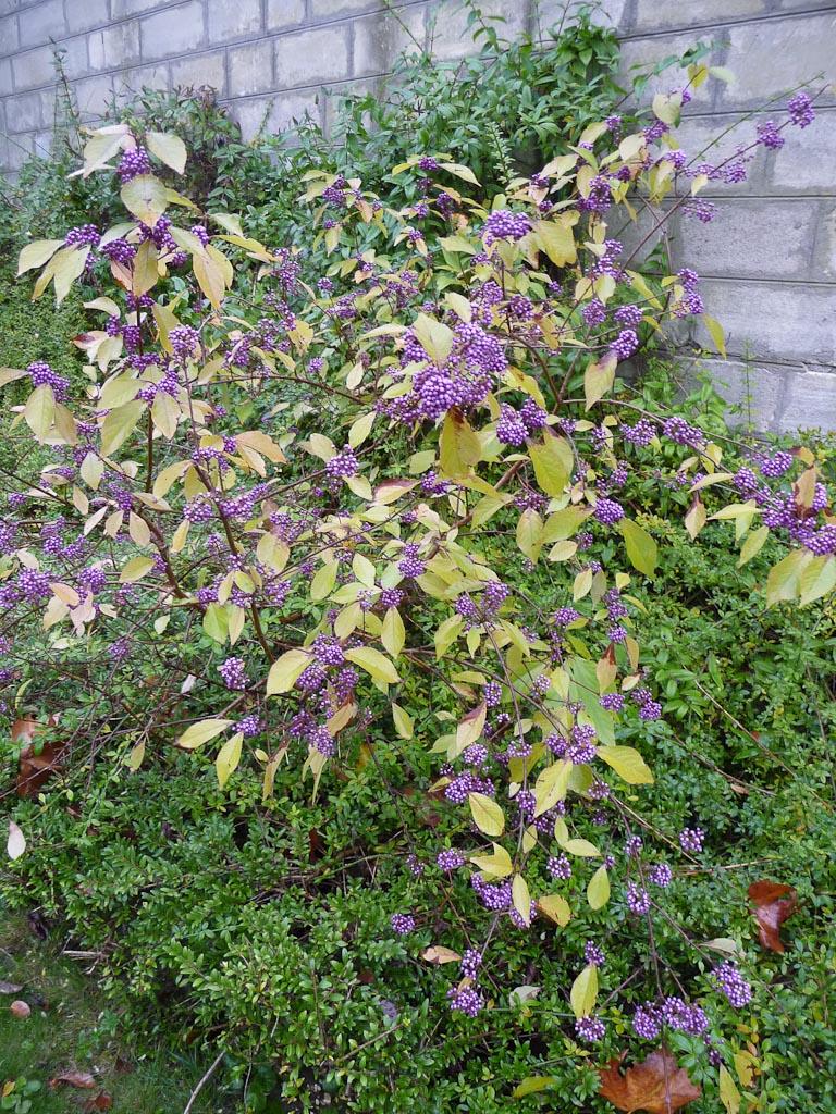 Callicarpa avec baies violettes, par un dimanche d'automne pluvieux dans le cimetière du Père Lachaise, Paris 20e (75)