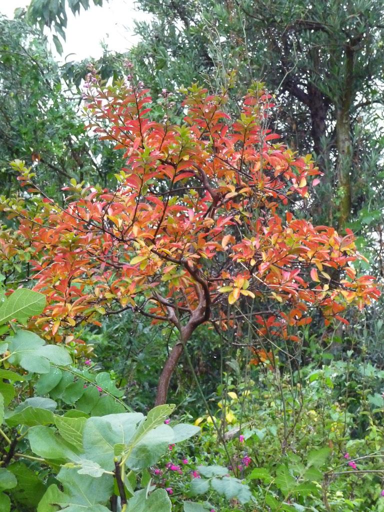 Lilas des Indes (Lagestroemia indica) avec son feuillage d'automne, par un dimanche d'automne pluvieux dans le cimetière du Père Lachaise, Paris 20e (75)
