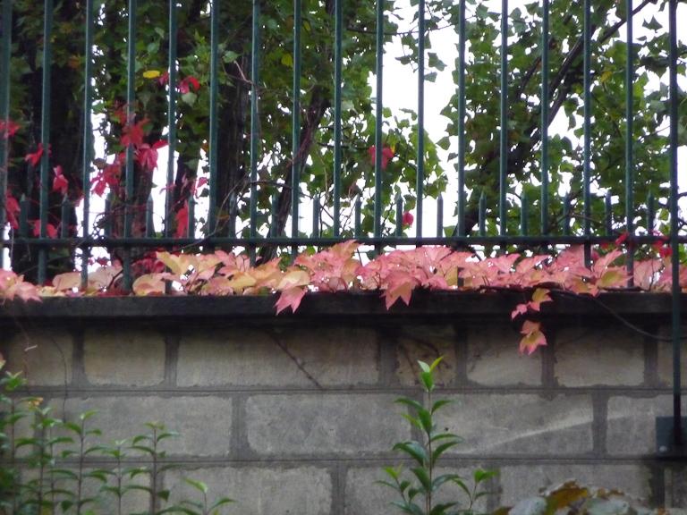 Vigne vierge avec ses couleurs d'automne par un dimanche d'automne pluvieux dans le cimetière du Père Lachaise, Paris 20e (75)