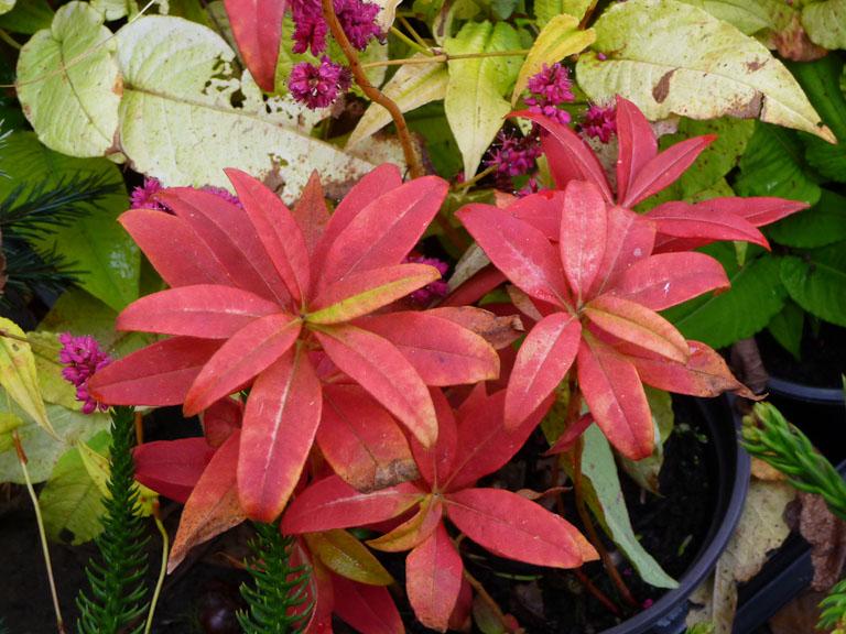 Lysimachia clethroïdes avec couleurs d'automne, Vallonchêne, Journées des Plantes de Courson (Essonne), automne