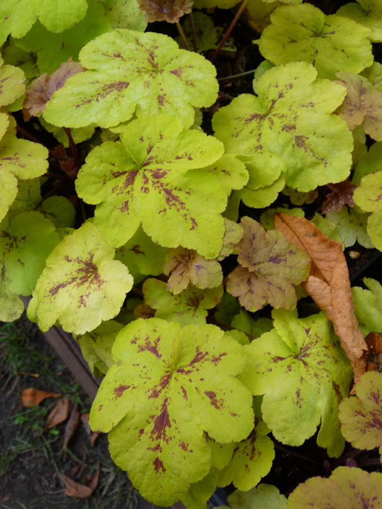 X Heucherella 'Yellowstone Falls', Pépinière des Deux Caps, Journées des Plantes de Courson (Essonne), automne