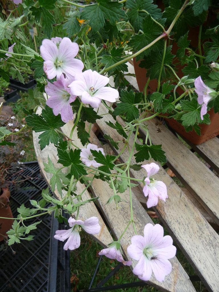 Geranium 'Dreamland', Meers Vaste plantenkwekerij, Journées des Plantes de Courson (Essonne), automne