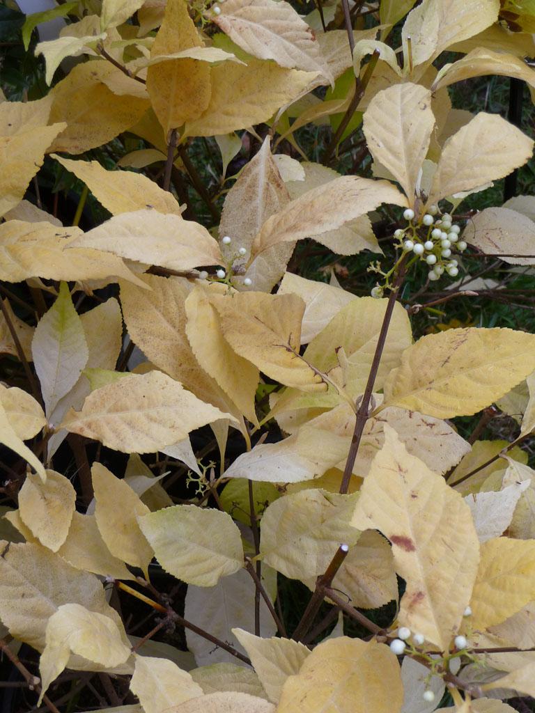 Callicarpa japonica 'Leucocarpa', Pépinières de Beaufort, Journées des Plantes de Courson (Essonne), automne