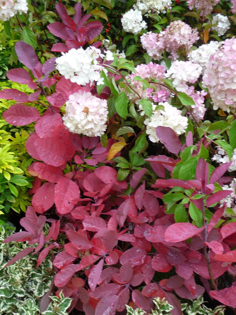Cotinus 'Grace' et Hydrangea paniculata 'Vanille Fraise', Pépinières de l'Hurepoix, Journées des Plantes de Courson (Essonne), automne